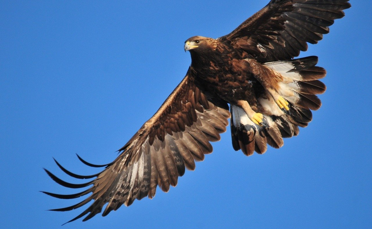 Bird watching - sea eagle, golden eagle, buzzard, hawks